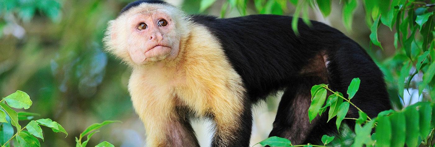 Costa Rica Rainforest - Monkey